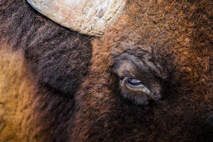 Oeil bison – Parc Omega